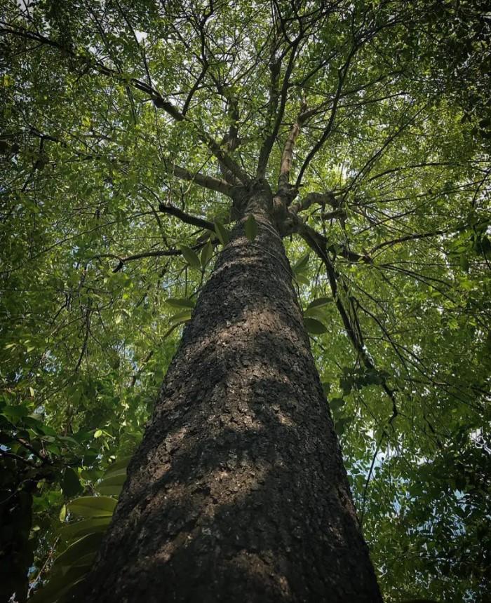 Đặc điểm nhận biết gỗ mun và những ứng dụng thiết thực trong cuộc sống
