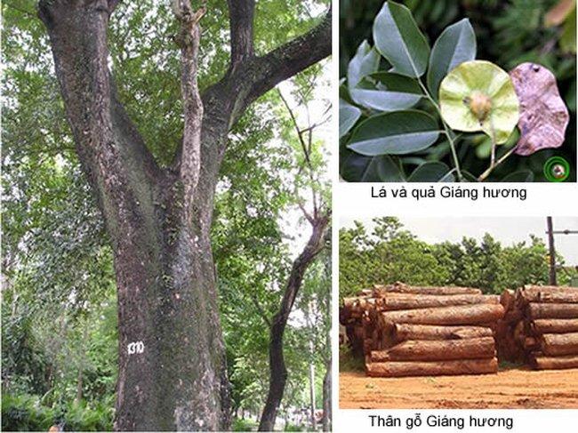 Hình ảnh cây gỗ hương