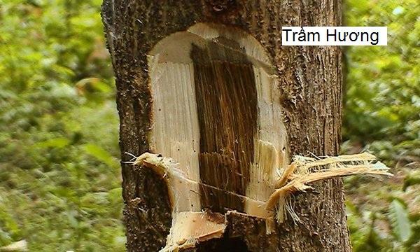 Gỗ trầm hương được hình thành từ cây dó bầu